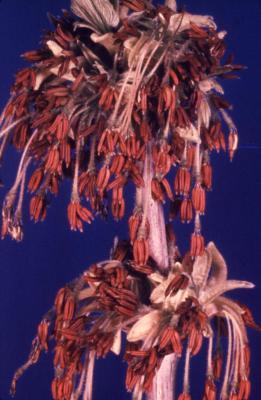 Acer negundo (boxelder), male flowers