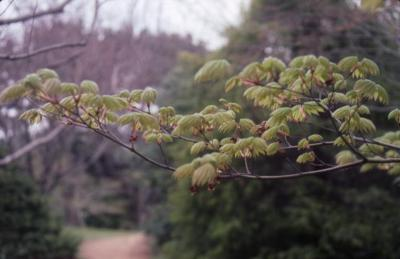 Acer japonicum 'Itaya' (Itaya Fullmoon maple), branch with leaves