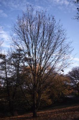 Acer miyabei 'Morton' (State Street maple), fall