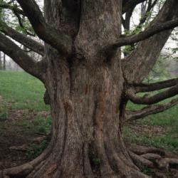Acer miyabei 'Morton' (State Street maple), trunk