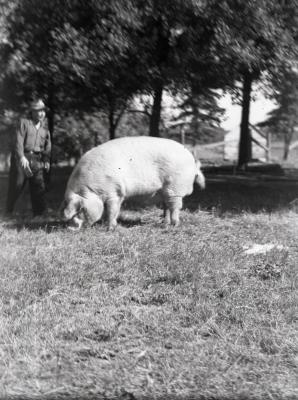 """""""Lisle Lilly"""" sow grazing in field with man"""