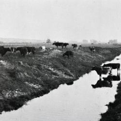Lisle Farms registered Holstein cattle in and around a section of the DuPage River after it was straightened in 1921