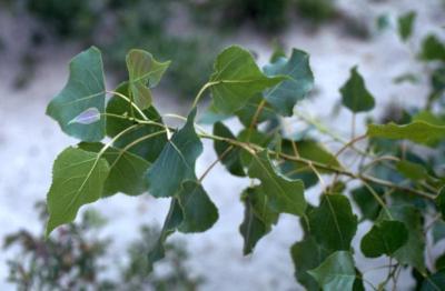 Populus deltoides (eastern cottonwood), leaves