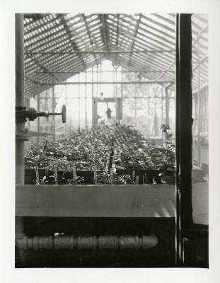 John Van Gemert standing at distant end of greenhouse