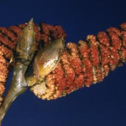 Populus deltoides (eastern cottonwood), catkins and buds