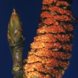 Populus deltoides (eastern cottonwood), catkin flower and bud