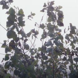 Populus deltoides (eastern cottonwood), leaves on young tree