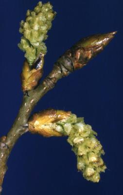 Populus deltoides (eastern cottonwood), female catkin and bud