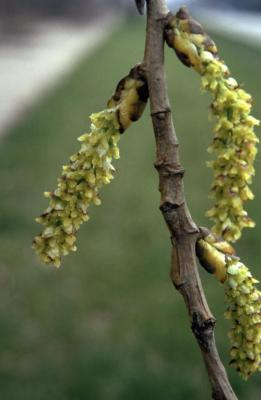 Populus deltoides (eastern cottonwood), twig with female catkins