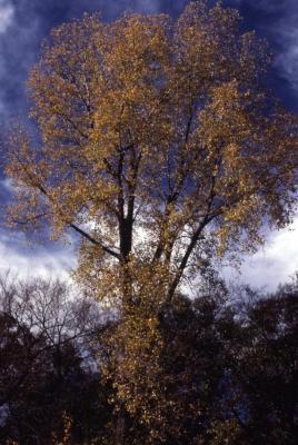Populus deltoides (eastern cottonwood)