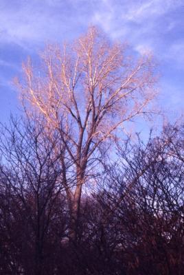 Populus deltoides (eastern cottonwood), bare trees