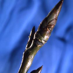 Populus deltoides (eastern cottonwood), buds