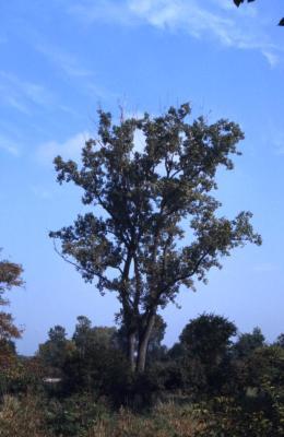 Populus deltoides (eastern cottonwood), fall
