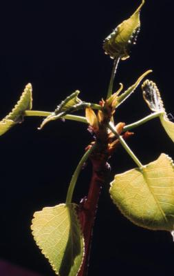Populus deltoides (eastern cottonwood), emerging leaves