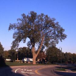 Populus deltoides (eastern cottonwood), near street