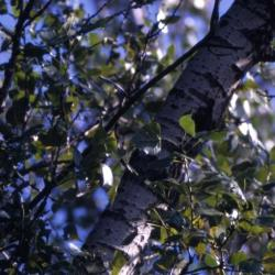 Populus deltoides (eastern cottonwood), young trunk and branches