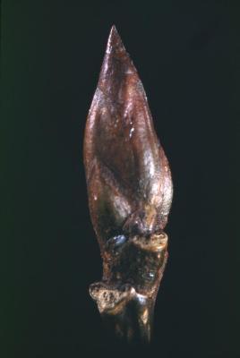 Populus deltoides (eastern cottonwood), bud detail