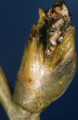 Populus deltoides (eastern cottonwood), catkin bud
