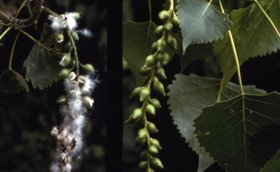 Populus deltoides (eastern cottonwood), dangling fruit cluster with leaves and seeds