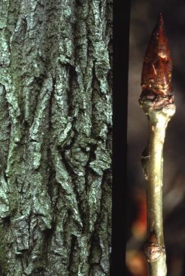 Populus deltoides (eastern cottonwood), bark and bud detail