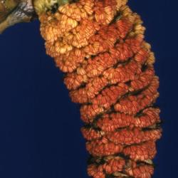 Populus deltoides (eastern cottonwood), male catkin