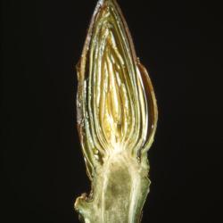 Populus deltoides (eastern cottonwood), bud
