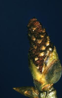 Populus deltoides (eastern cottonwood), male bloom detail