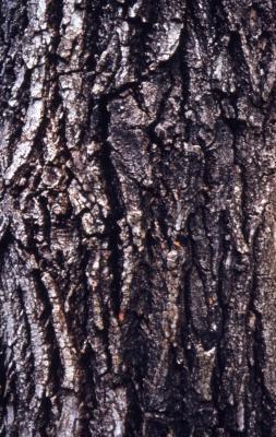 Populus deltoides (eastern cottonwood), bark detail