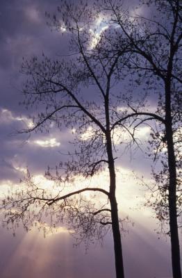 Populus deltoides (eastern cottonwood), bare tree crown