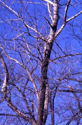 Populus deltoides (eastern cottonwood), bare twigs and branches