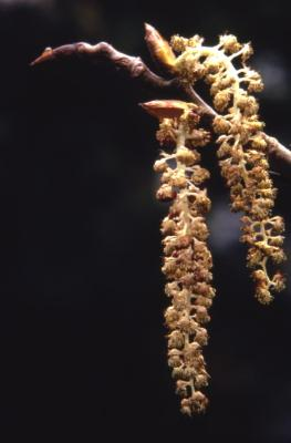 Populus deltoides (eastern cottonwood), emerging male catkins and buds
