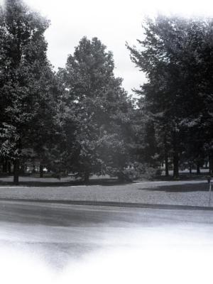 Magnolia acuminata (cucumbertree) viewed from road