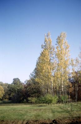 Populus deltoides (eastern cottonwood), fall color