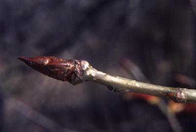 Populus deltoides (eastern cottonwood), twig and buds