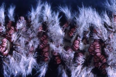 Populus deltoides (eastern cottonwood), male flower detail
