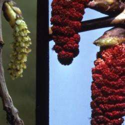 Populus deltoides (eastern cottonwood), dangling female and male flowers
