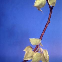 Populus deltoides (eastern cottonwood), young leaves and twigs