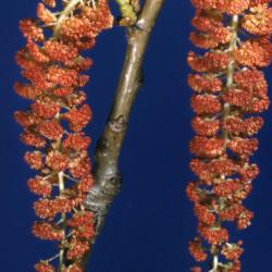 Populus deltoides (eastern cottonwood), male catkins