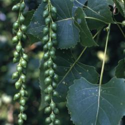 Populus deltoides (eastern cottonwood), dangling fruit clusters