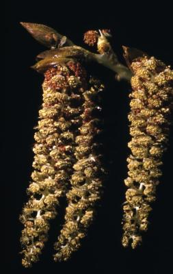 Populus deltoides (eastern cottonwood), emerging catkins and bud