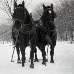 Herb Piffinger with team of Percheron horses in winter at Lisle Farms