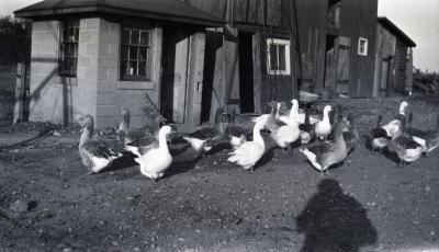 Toulouse geese outside of farm buildings at Duel Farm