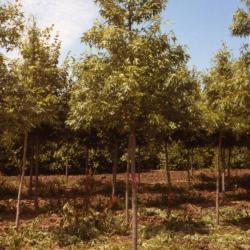 Acer saccharinum 'Beebe Cutleaf Weeping' (Beebe Cutleaf Weeping silver maple), sapling, habit