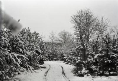 Scotch pine on Pine Hill in winter