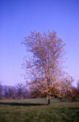 Acer saccharinum 'Improved' (Improved silver maple), habit, fall