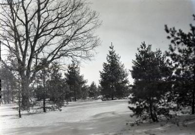 Pine Hill, white pine plantings on Thornhill residence grounds in winter