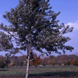 Acer saccharinum 'Pyramidale' (Pyramidal silver maple), habit, fall