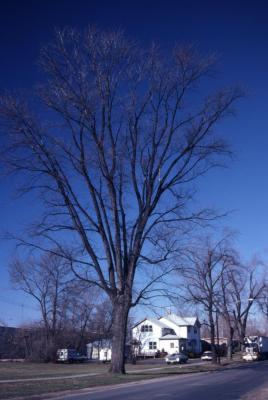 Acer saccharinum (silver maple), winter, habit