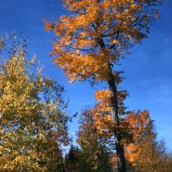 Acer saccharum (sugar maple), habit, fall