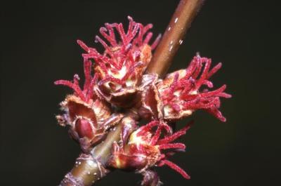 Acer saccharinum (silver maple), female flowers